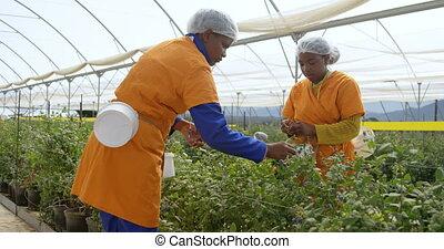 granja, arándanos, trabajadores, arándano, escoger, 4k