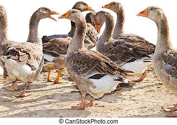 granja, aves de corral, multitud, gansos, mage