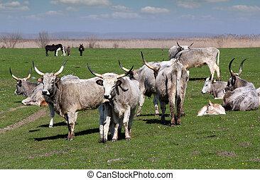 granja, con, vacas, en, pasto