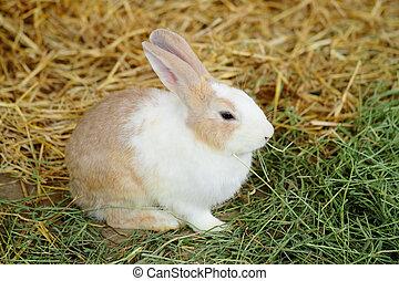 granja, conejo