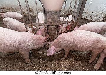 granja del cerdo
