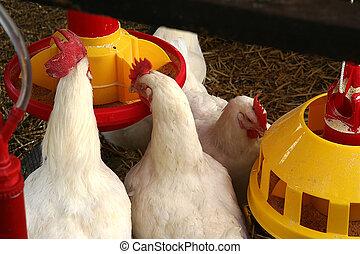 granja, pollo