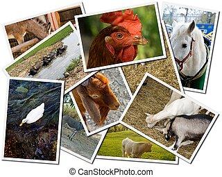 granja, postales, animal