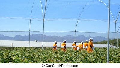 granja que camina, arándano, trabajadores, 4k