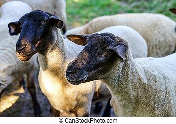 granja, sheeps, en, el, sol, tarde, verano