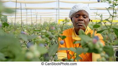 granja, trabajando, arándano, 4k, trabajador