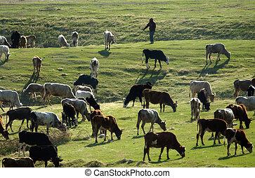 granja, vacas, animales, -