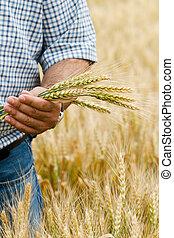 granjero, con, trigo, en, hands.
