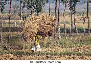 granjero, lleva, arroz, de, el, granja, hogar, en, en,...