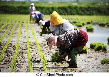 granjeros, en, el, paisaje rural, corea