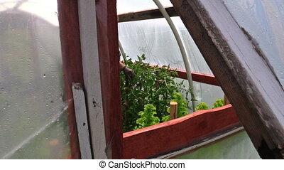 granny prune tomato bunch - grey old woman prune overgrown...