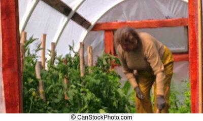 granny tomato bush green - grandmother in greenhouse...