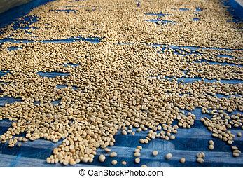 granos de café, secado