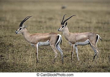 granti, gazella, gacela, grant