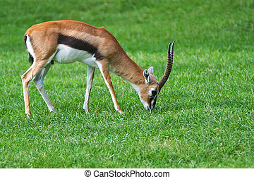 Grant's gazelle eating grass in open zoo.