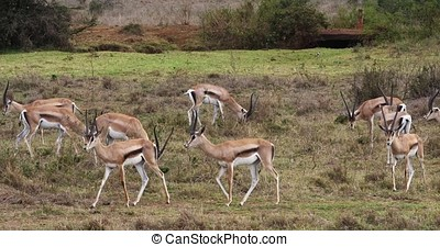 Grant's Gazelle, gazella granti, Group at Nairobi Park in...