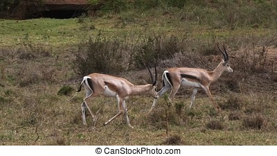Grant's Gazelle, gazella granti, Group at Nairobi Park in Kenya, Real Time