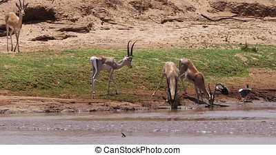 Grant's Gazelle, gazella granti, Group drinking Water at...