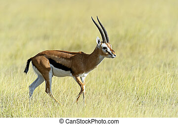 Grant's gazelle in the African savannah in the wild
