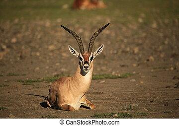Grant's gazelle lying down