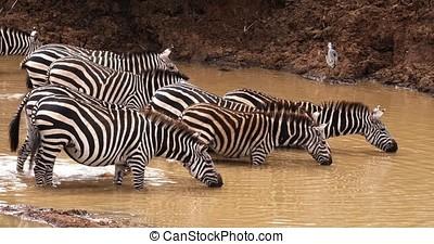 Grant's Zebra, equus burchelli boehmi, Herd at waterhole,...