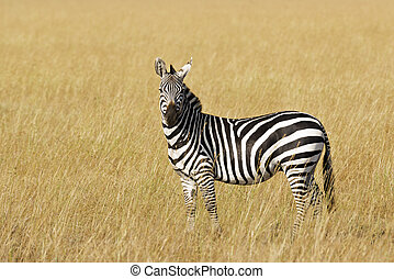 Grant's zebra (Equus quagga boehmi) on the open grassland,...