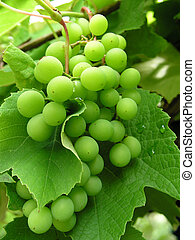 Grape 1 - green unripe grape
