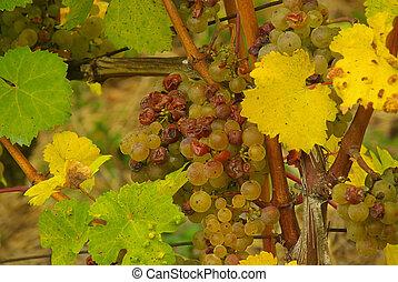 grape 43