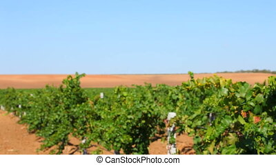 Grape agricultural