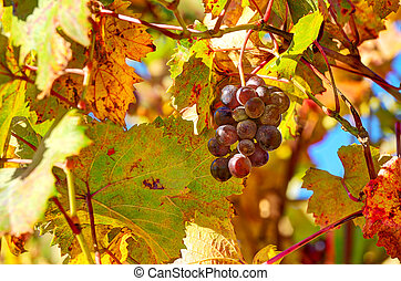 Grape among autumnal leaves in Italy. - Closeup image of ...