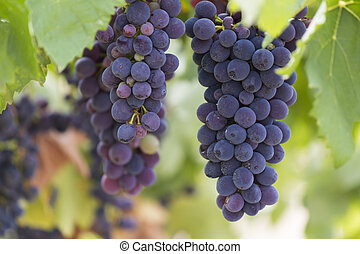 grape and vineyard