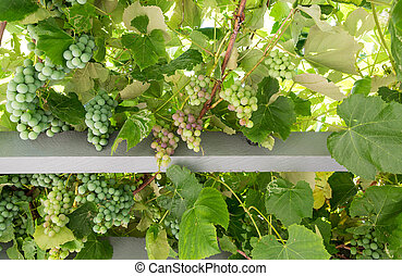 Grape Arbor from Below - Green grapes growing in a garden...
