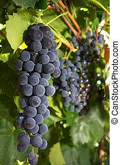 Grape bunch. Farm near Karaganda, september 2006