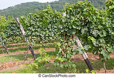 grape bunch in the vineyard into a farm 2