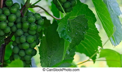Grape. - Bunch of wet green grapes and leaves.