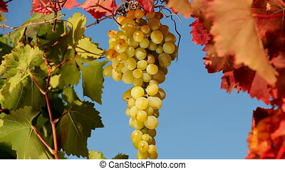 Grape bunch of white. Close-up.