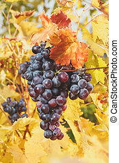 Grape bunches hanging from vine
