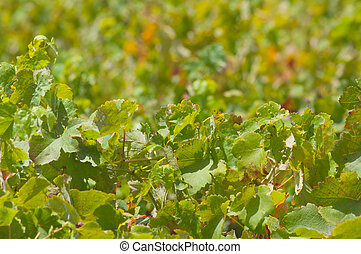 Grape bunches hanging from vine. - Red wine grapes on vine...