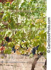Grape bunches hanging from vine.
