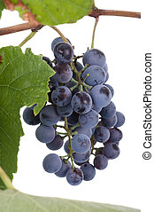Close up photo of grapes in studio on white background