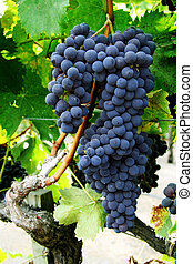 Grape cluster - Red grapes hanging on a vine