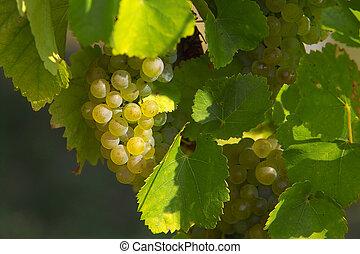tasty vine grapes cluster