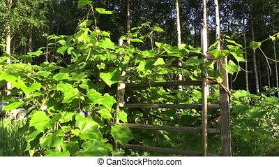 grape creeper plant