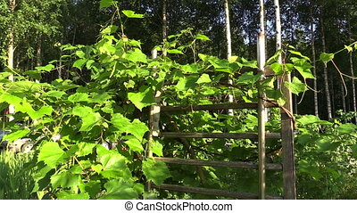 grape creeper plant - Grape creeper plants grow on wooden...
