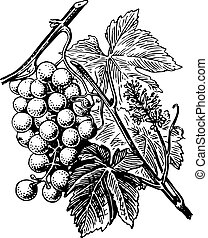 Grape - Branch of grape with leaves on white background