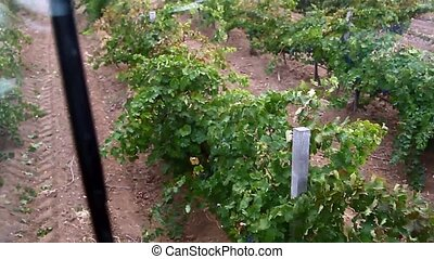 Grape field. View of the machine for picking
