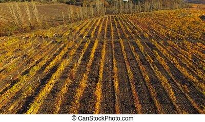 Grape fields from a bird's eye view - Grape fields from a...