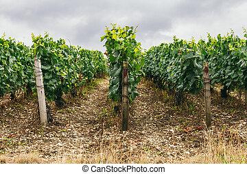 Grape fields in France