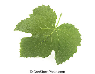 Grape fresh leaf isolated on a white background, closeup.