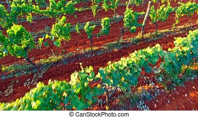 Grape fruits harvest - Flight above green grapes plants...